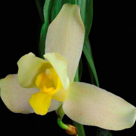 Orquídea Lycaste Senne Sand