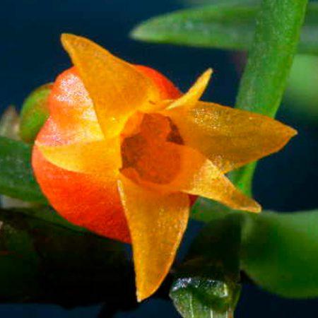 orquidea-mediocalcar-decoratum