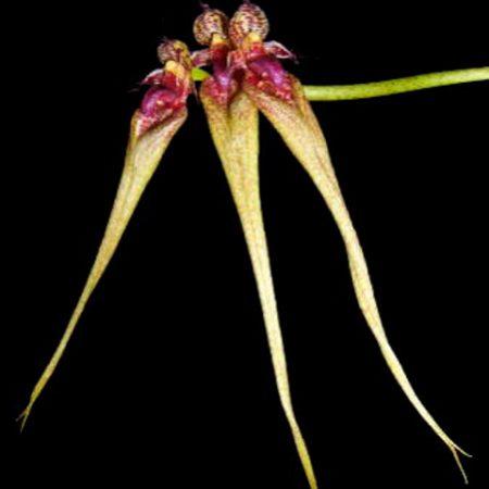 orquidea ornatissimum