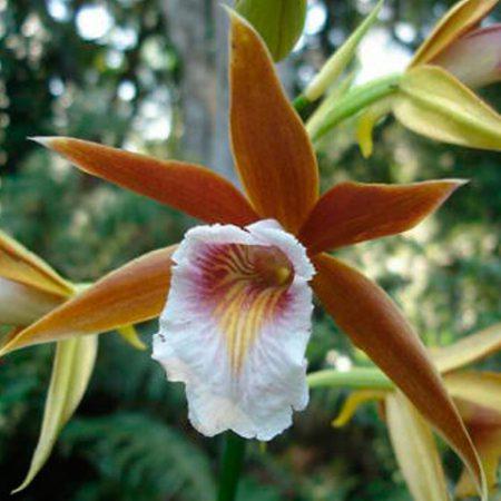 orquidea phaius wallichi