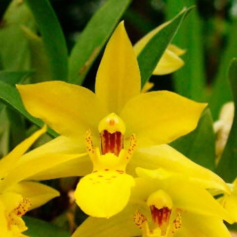 Orquídea Promenaea Margaret Boice