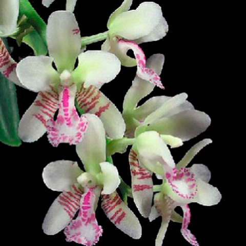 orquidea-sedirea-japonica