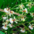 Orquídea Sigmatostalix radicans