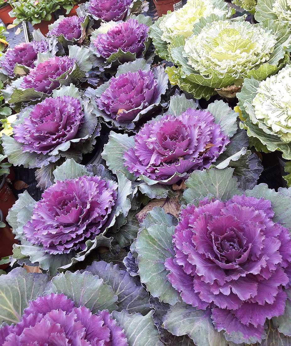 Brassicas para dar color a nuestro jardín en invierno