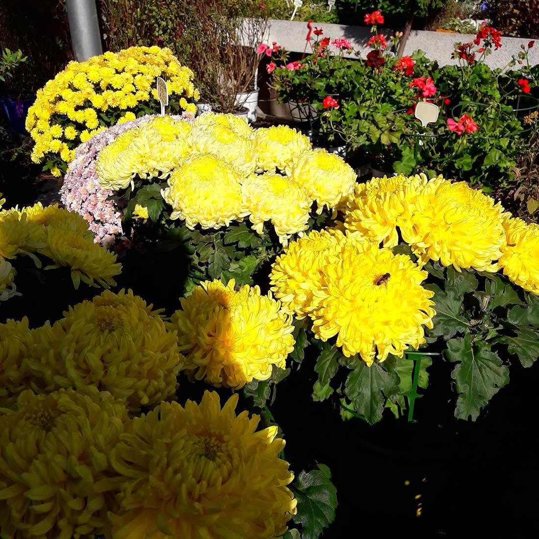 Crisantemos de floración otoñal