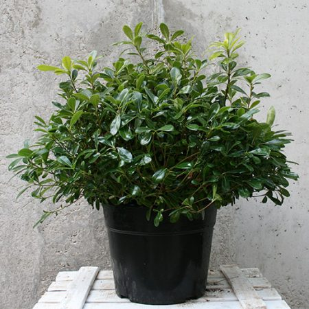 Pittosporum tobira nana