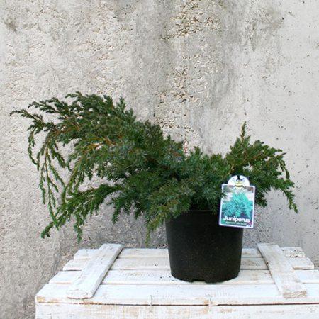 Juniperus communis s.p.