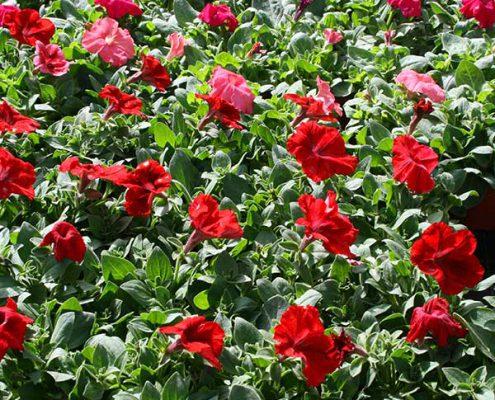 Primeras plantas de flor de verano