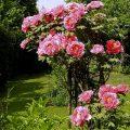 Paeonia suffruticosa