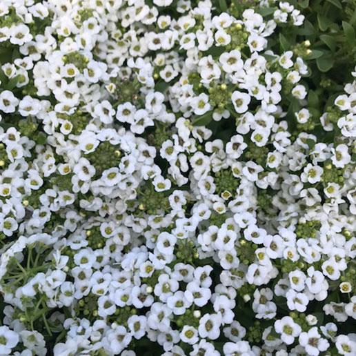 flor blanca dulce 260 semillas Groco fragante aliso