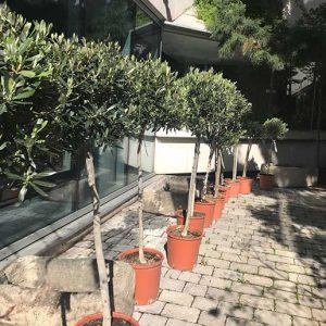 Olivos formados en árbol
