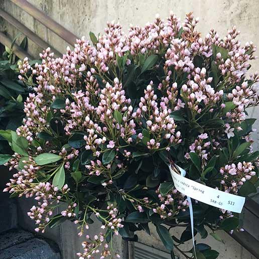 Rhaphiolepis planta de copa arbolito