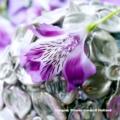 Alstroemeria Aurantíaca