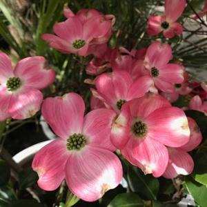Cornejo Cornus florida rubra