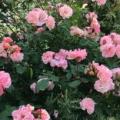 Rosa-Claire-Matin