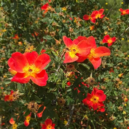 rosa-foetida-bicolor