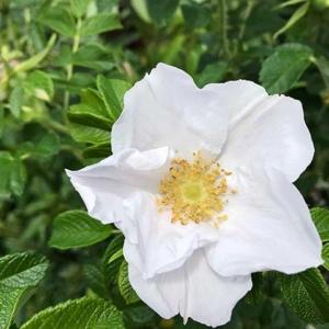 rosa-rugosa-alba