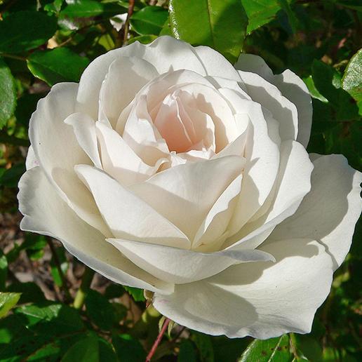 rosal iceberg