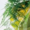 Esparraguera asparagus meyeri