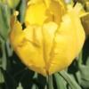 Bulbos de Otoño Invierno - Tulipan Texas Gold
