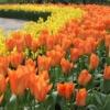 bulbos otoño invierno tulipan orange emperor