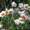 Bulbos de Otoño Invierno - Narciso Profesor Einstein