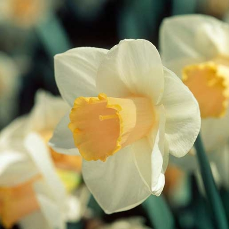 Bulbos de Otoño Invierno - Narciso Salome