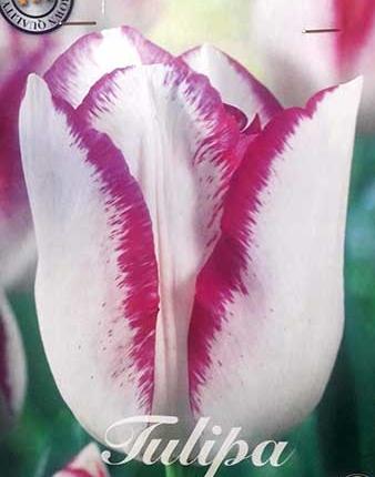 Bulbos de Otoño Invierno - Tulipan Affaire