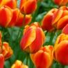 Bulbos de Otoño Invierno - Tulipan Apeldorn Elite