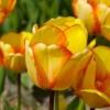 Bulbos de Otoño Invierno - Tulipan Beauty of Spring