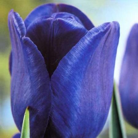 Bulbos de Otoño Invierno - Tulipan Blue Passion