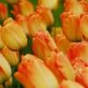 vBulbos de Otoño Invierno - Tulipan Daydream