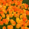 Bulbos de Otoño Invierno - Tulipan Daydream