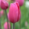 Bulbos de Otoño Invierno - Tulipan Don Quichotte