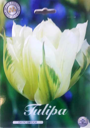 Bulbos de Otoño Invierno - Tulipan Exotic Emperor