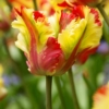Bulbos de Otoño Invierno - Tulipan Flaming Parrot