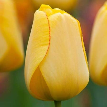 Bulbos de Otoño Invierno - Tulipan Golden Parade