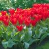 Bulbos de Otoño Invierno - Tulipan Madame Lefeber