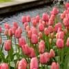 Bulbos de Otoño Invierno - Tulipan Pink Impression