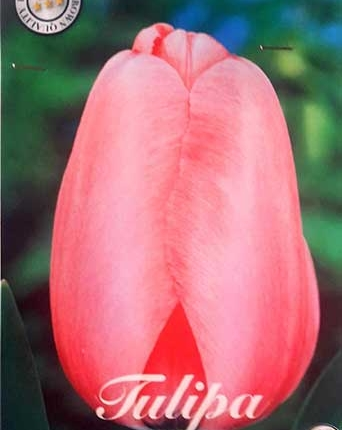 Tulipan Pink Impression