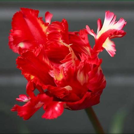 Bulbos de Otoño Invierno - Tulipan Red Parrot