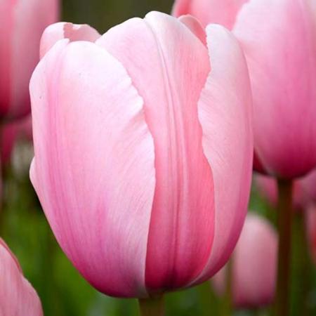 Bulbos de Otoño Invierno - Tulipan Salmon Impression