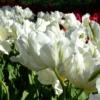 Bulbos de Otoño Invierno - Tulipan White Parrot