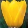 bulbos otoño invierno tulipan candela
