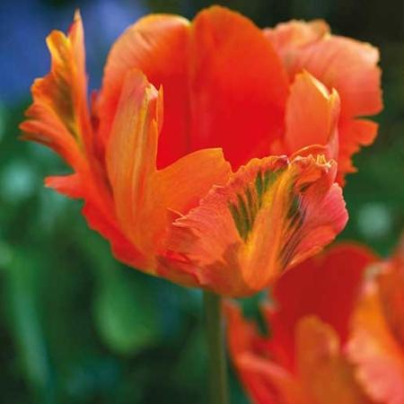 bulbos otoño invierno tulipan orange favourite