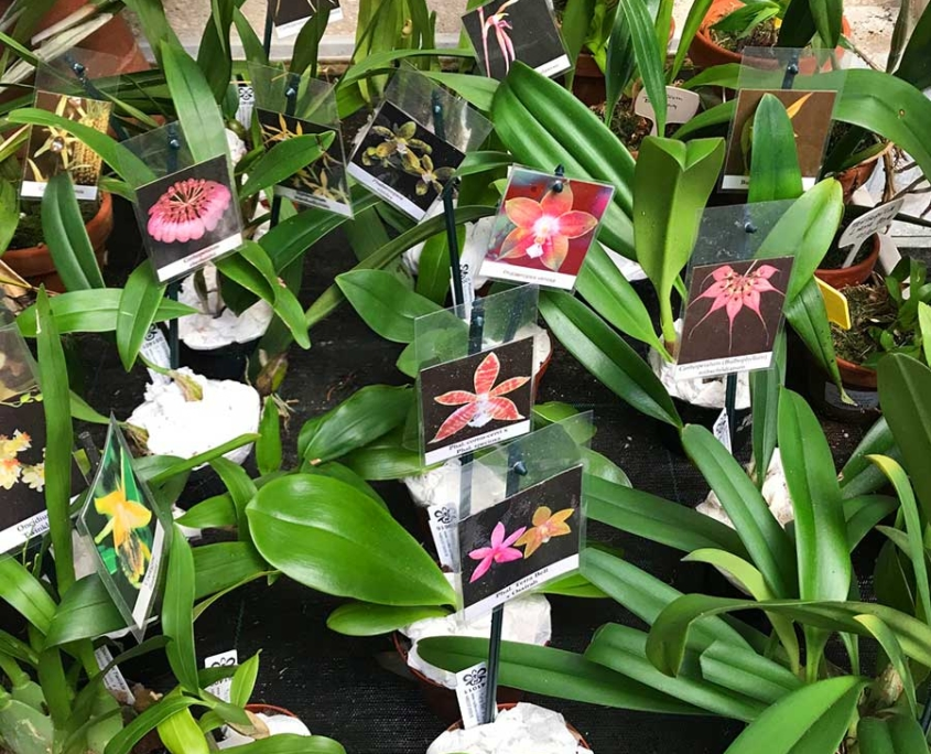 Orquídeas en tiesto 5cm y 9cm
