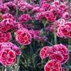 El clavel chino es una bonita planta con la que podrás tener un precioso jardín o balcón