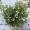 Chanaleacium o flor de cera