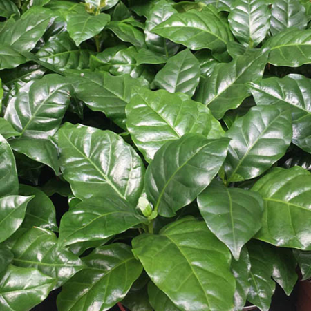 Coffea arabica, o café... Es la planta del café.