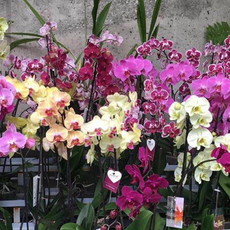 Phalaenopsis variada color 2 varas